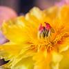 Yellow Peony Portrait