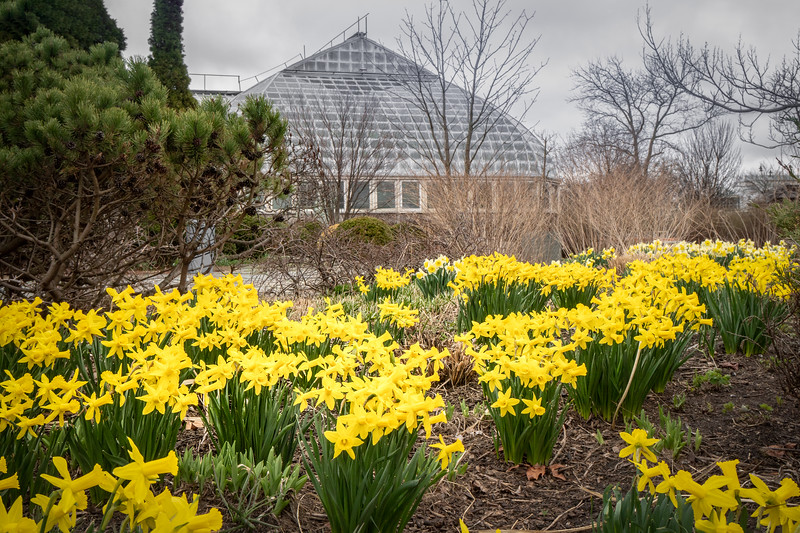Daffodils thrive outdoors as spring comes to the outdoor gardens at the Conservatory