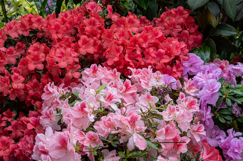 A mass of pinks!  The Showroom at the Garfield Park Conservatory