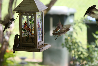 Sparrows eating bird seed on my Grandmothers front veranda.