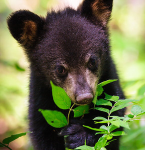 Black Bear Cub, Bear Hollow Zoo