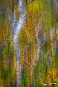 Birch Abstract I