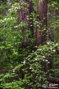 Dogwoods and Redwoods, Yosemite N.P.