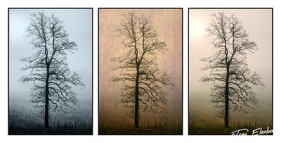 Tree Tryptich, Cades Cove, Great Smoky Mountains N.P.,