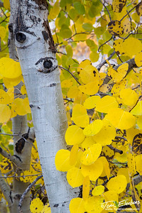 Eyes of the Aspen, Lundy Canyon, Eastern Sierras
