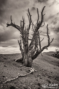 A Bristlecone Pine in the Twisted Forest near Cedar Breaks, Utah