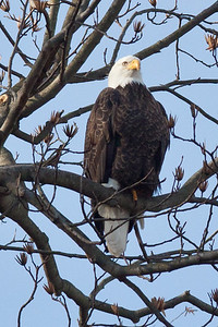 Eagle at Conowingo