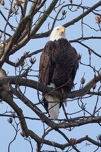 Eagle at Conowingo
