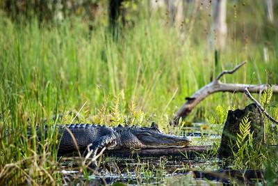 Okefenokee Alligator
