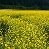 Rapeseed field, Norway.