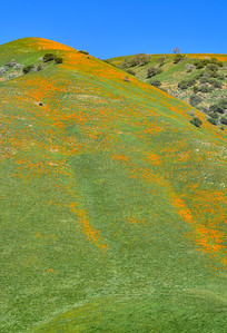 Poppy Superbloom on the Hillside
