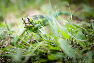 Jackson's Three-Horned Chameleon in the Grass Taking a Look at You  ©2017 Ranae Keane-Bamsey Photography www.EMotionGalleries.com
