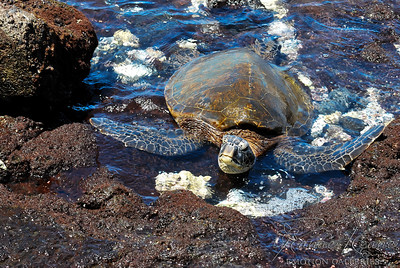 Pacific Ocean Honu Green Sea Turtle in the Lava Rock and Coral Shoreline ©2017 Ranae Keane-Bamsey Photography www.EMotionGalleries.com