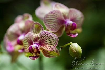 Orchid From Bud to Blossom ©2017 Ranae Keane-Bamsey Photography www.EMotionGalleries.com