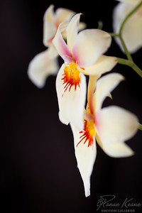 Orchids Dripping Fire ©2017 Ranae Keane-Bamsey Photography www.EMotionGalleries.com