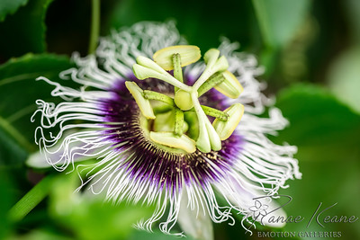 Lilikoi Blossom on a Passion Fruit Vine ©2017 Ranae Keane-Bamsey Photography www.EMotionGalleries.com