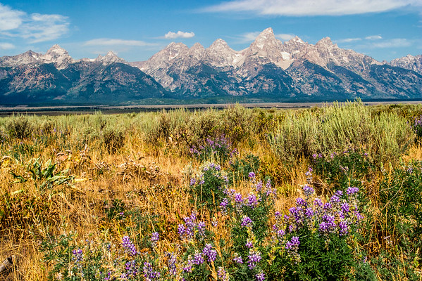 Teton Wildflowers