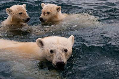 Naujat Nunavut  Wager Bay  polar bears