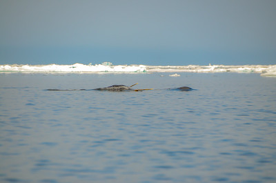 floe edge  adventure tourism  whale watching  polar bear  Polar Sea Adventures  Pond Inlet  Baffin Island  Nunavut
