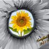 sunflower 2017 frame