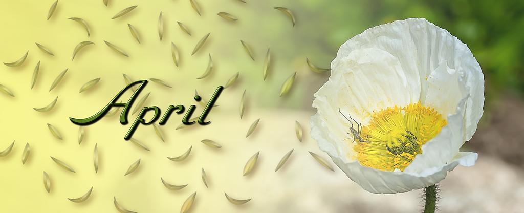 april header with poppy