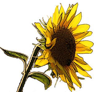 "My ""sunflower"""