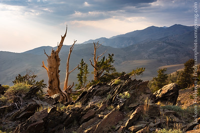 Smoky afternoon light on bristlecone pines, White Mountains, California.