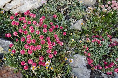 Holmgrem's buckwheat (Eriogonum holmgrenii), endemic to Nevada's Snake Range, July 2011.
