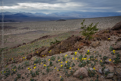 Early blooming flowers with stormy skies over the Panamint Range, Death Valley, California, January 2016.