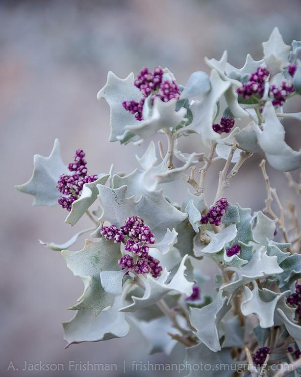Blooming desert holly, Death Valley, California, December 2015.