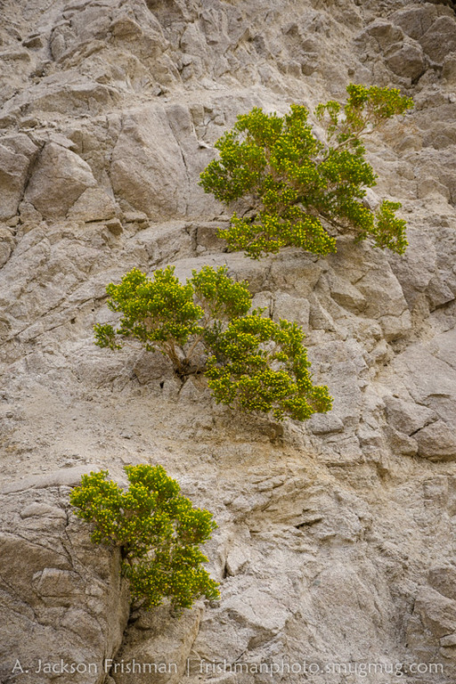 Blooming creosote on a cliff in the Inyo Mountains, California, January 2016.