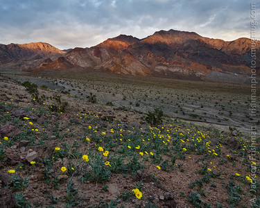 Desert gold blooms as sunset beams illuminate the Black Mountains, Death Valley, California, January 2016.