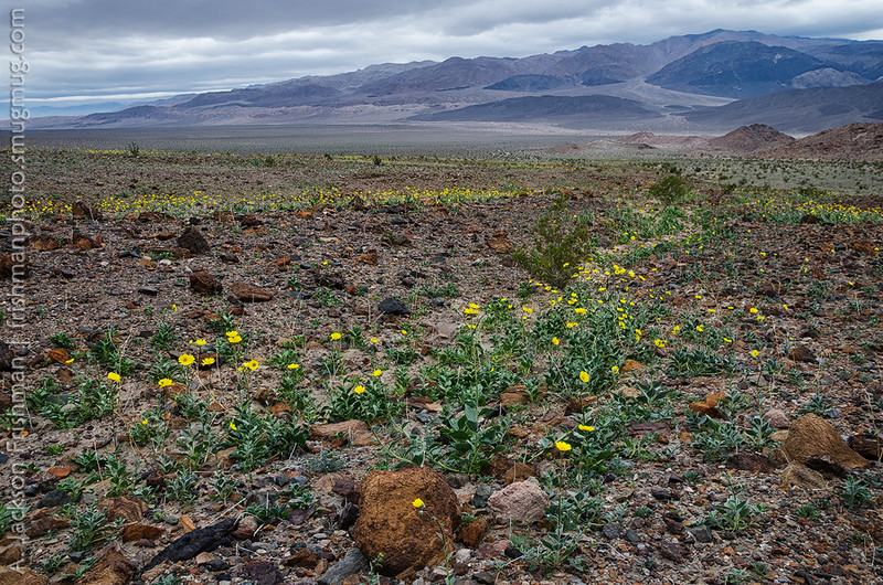 Flowers line the alluvial washes flowing towards the Owlshead Mountains, Death Valley, California, January 2016.