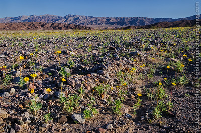 Blooming desert gold covers an alluvial fan in Death Valley, California, March 2015.