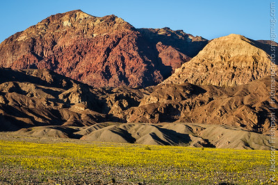 Fields of blooming desert gold under the Black Mountains, Death Valley, California, February 2016.