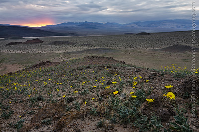 Early flowers looking towards a stormy sunset, southern Death Valley, California, January 2016.