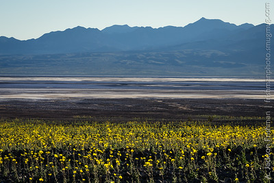 Desert gold blooms above Badwater Basin, Death Valley, California, February 2016.