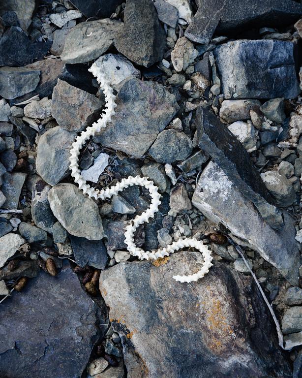 Snake skeleton, Deep Springs Valley