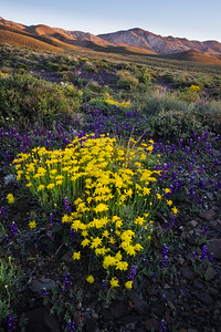 Spring bloom in the White Mountain foothills, Deep Springs Valley