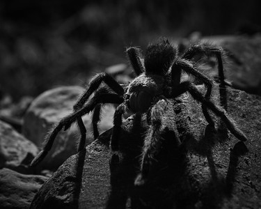 Migrating tarantula, White Mountains