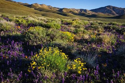 Lupines and mariposa lilies, Deep Springs Valley