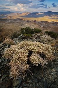 Heermann's buckwheat above Deep Springs Valley