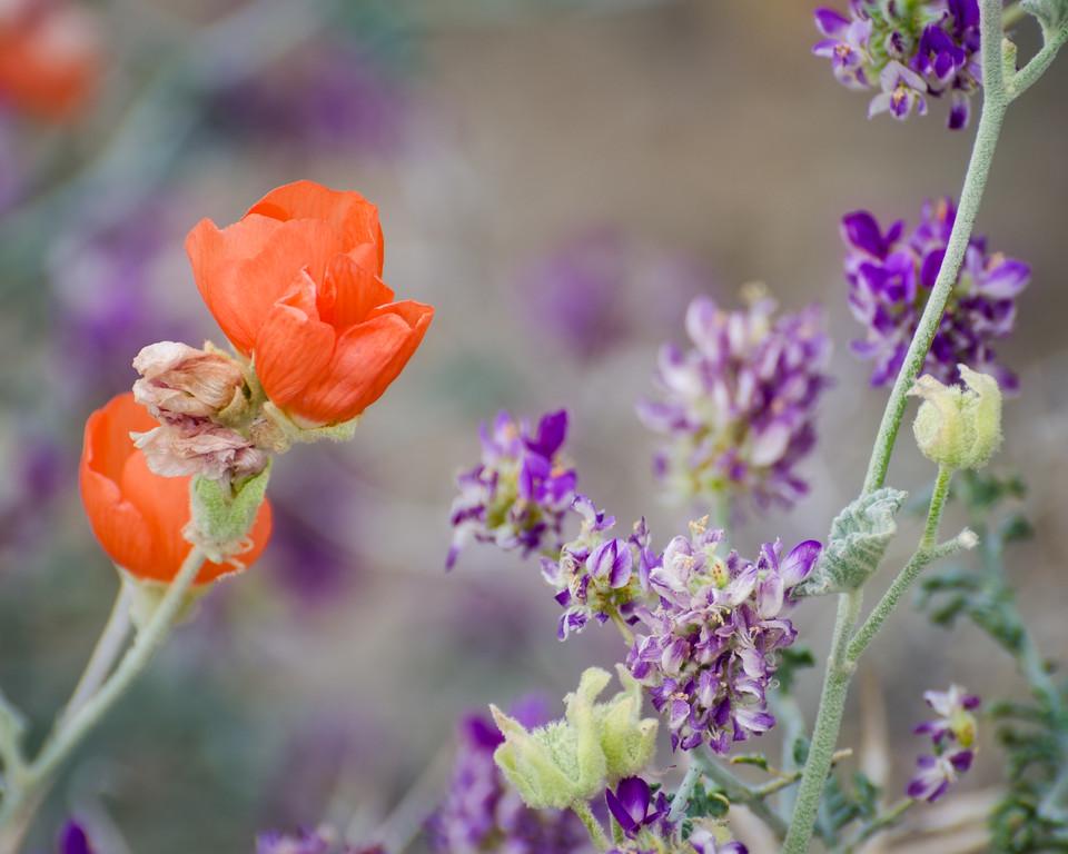 Blooming globe mallow and indigo bush, Deep Springs Valley