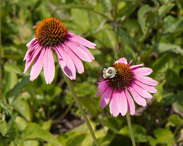 Cone Flower Bumble Bee