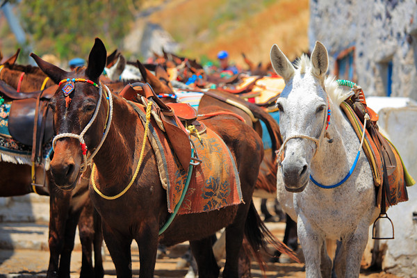 Mules on Santorini island, Greece