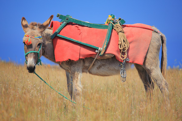 Donkey on Santorini island, Greece