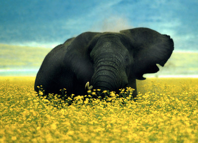 Elephant amongst wild marigolds