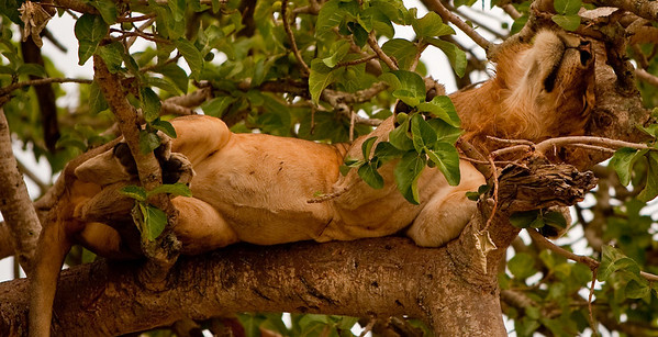 Tree-climbing lion, Ishasha, Queen Elizabeth National Park, Uganda
