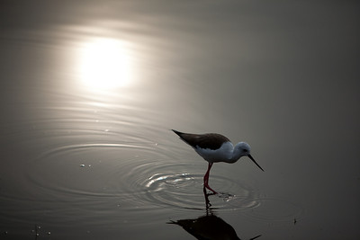 Black-winged Stilt or Common Stilt (Himantopus himantopus)