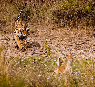 Royal Bengal Tiger, chasing spotted deer, Ranthambhore National Park